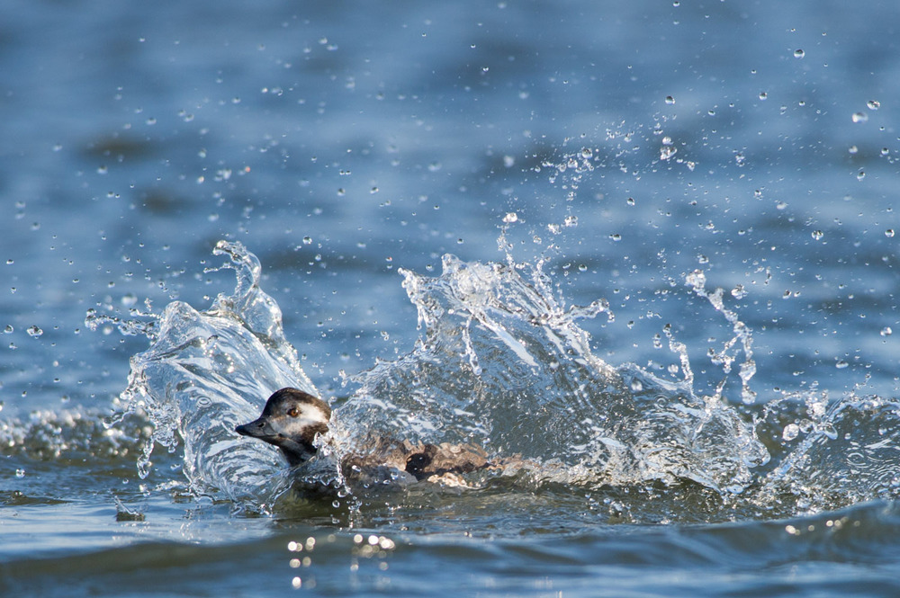 It always makes me laugh watching a Long-Tailed Duck landing in the water, they always seem to belly flop and create a big splash.