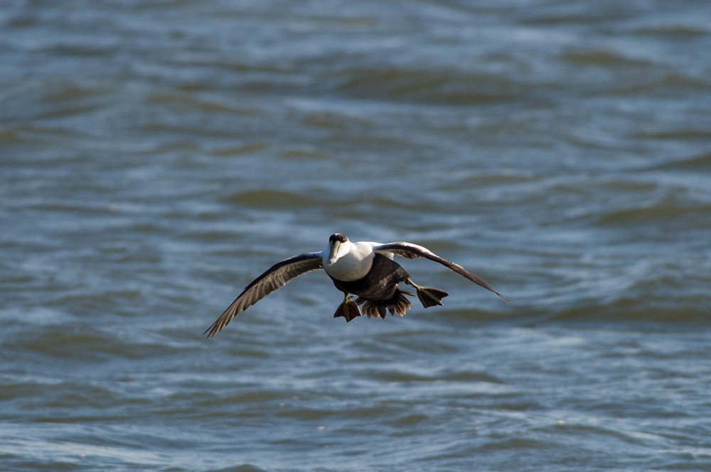 A Common Eider comes in for a landing near the jetty.