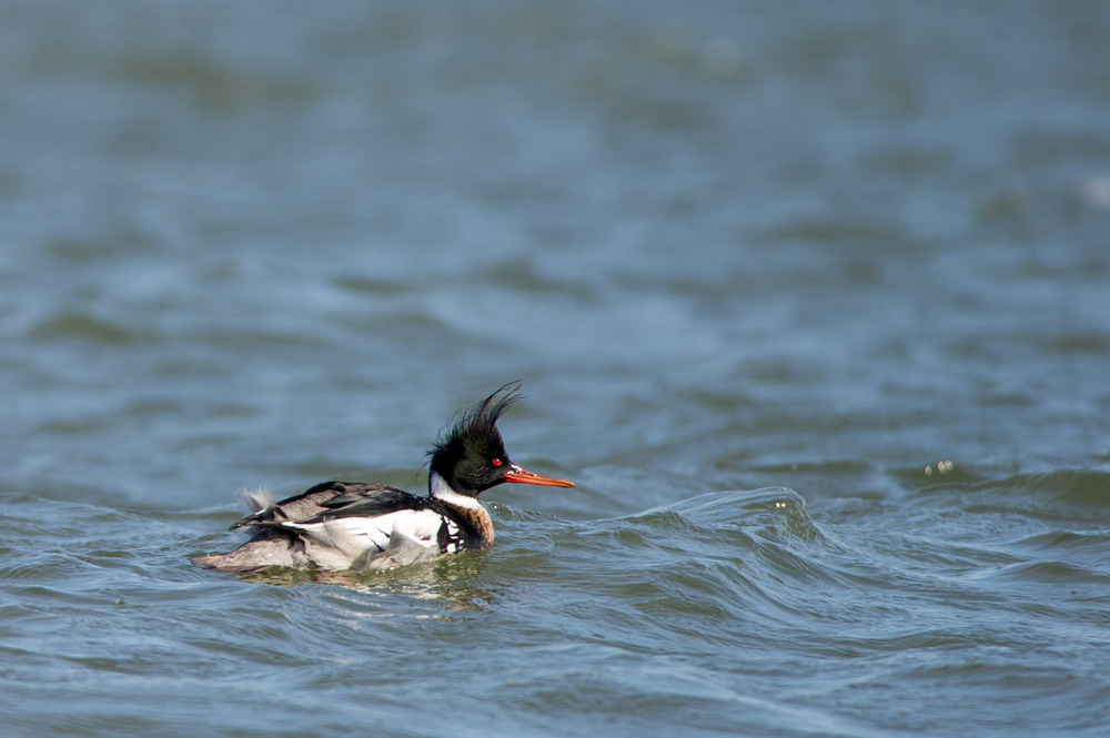 A male Red-Breasted Merganser looks pretty funny when the feathers on his head get blown around.