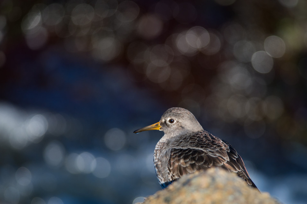 A Purple Sandpiper hiding behind a rock on the jetty.