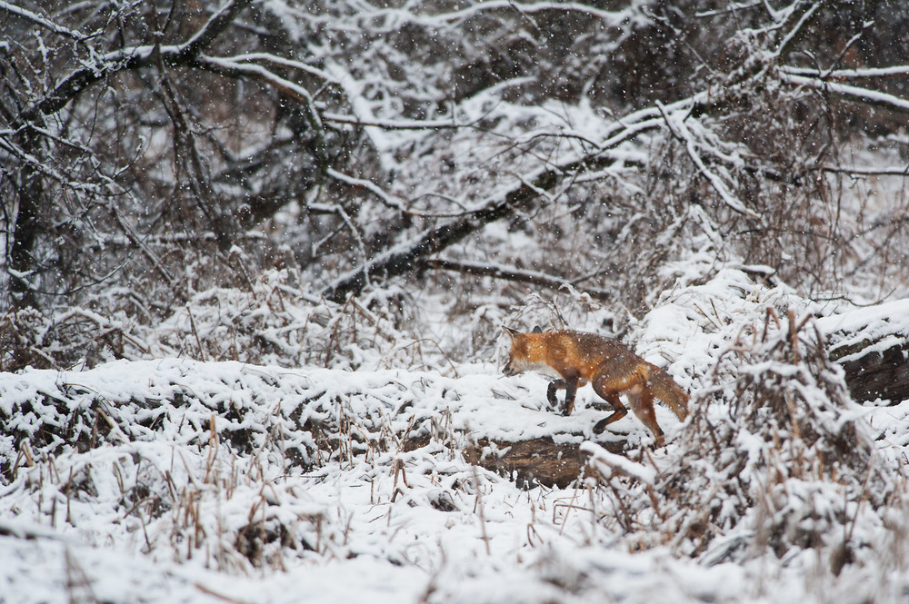 The second time I spotted a Red Fox on this morning, the best photo I was able to get was as it walked away over this fallen tree.
