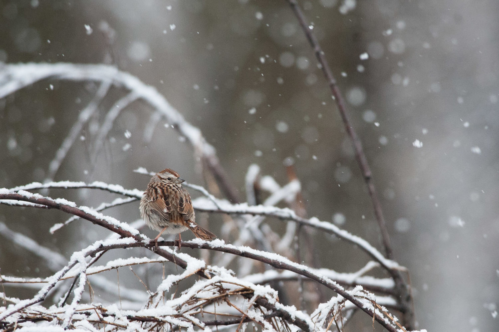 This Song Sparrow stopped just long enough to let me take about 3 photos  .