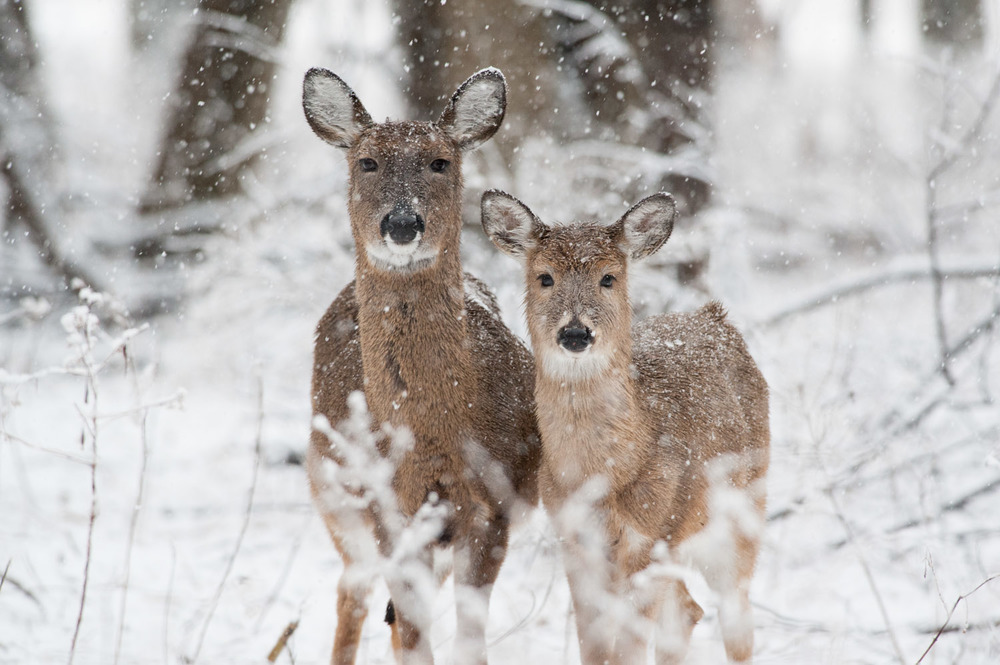 I loved how this pair of deer stood so close together and stared straight at me.