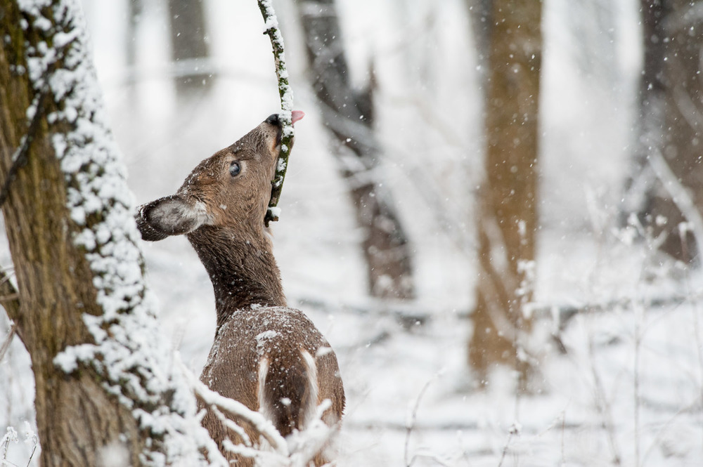 Getting a taste of that freshly fallen snow.