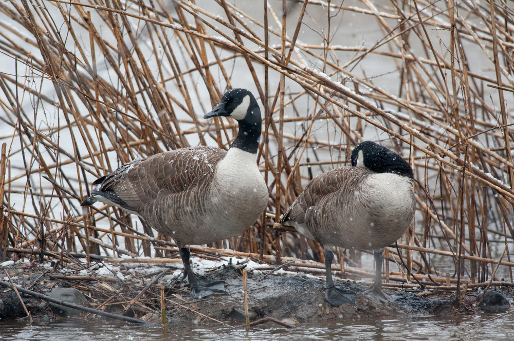 A pair of Canada Geese settle in as the snow begins to accumulate on their backs.