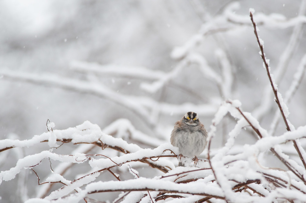 A handsome White-Throated Sparrow lands on a perfectly snow covered branch  .
