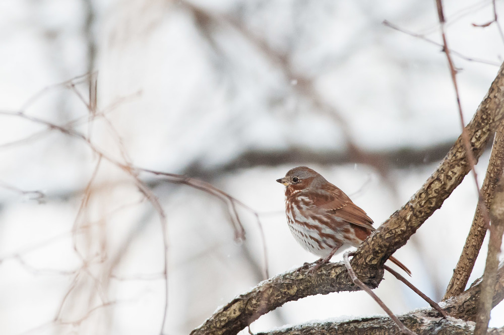 Only my second time seeing a Fox Sparrow - he looks great in the snow.