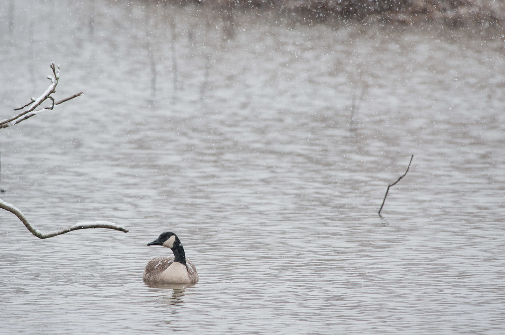 A lone goose sits in one of the ponds as the snow continues to fall.