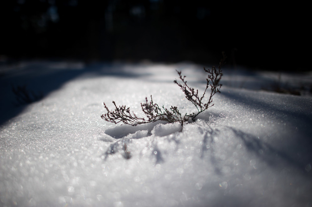 This tiny plant was still standing out on the snow covered ground. Taken at Wharton State Forest in the NJ Pine Barrens.