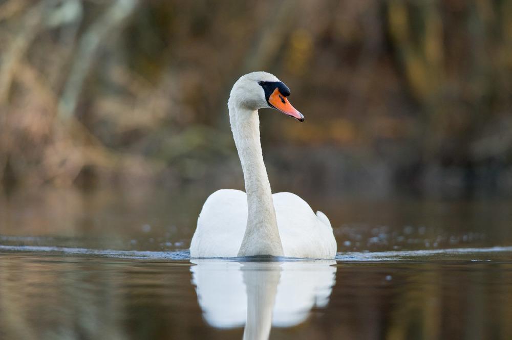 01_Mute Swan.jpg
