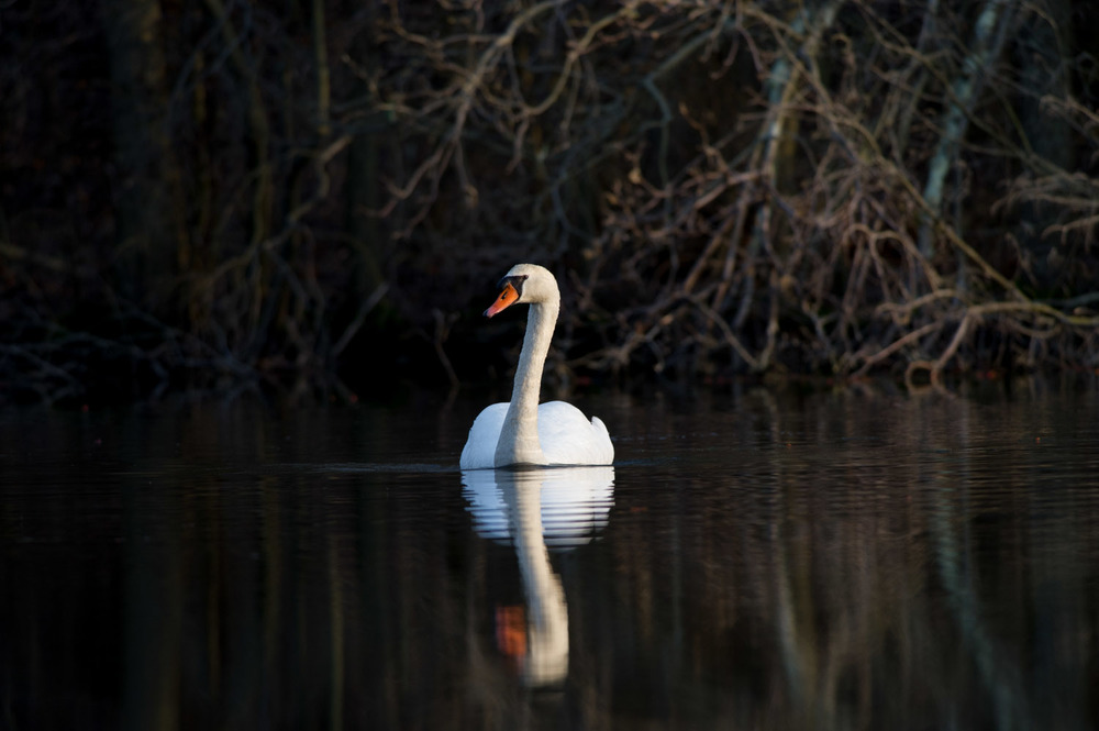 02_Mute Swan.jpg