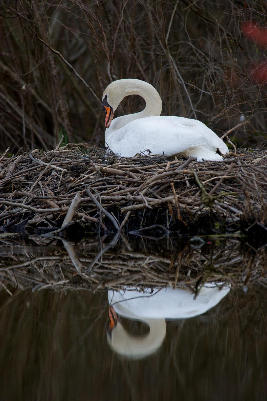 13_Mute Swan.jpg