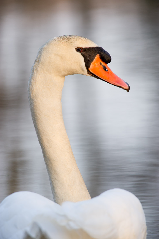 14_Mute Swan.jpg