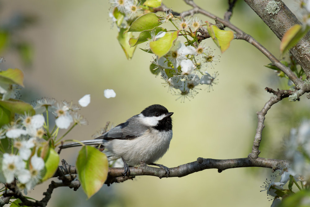 A Carolina Chickadee perched in a blossoming tree as flower petals fall above it.