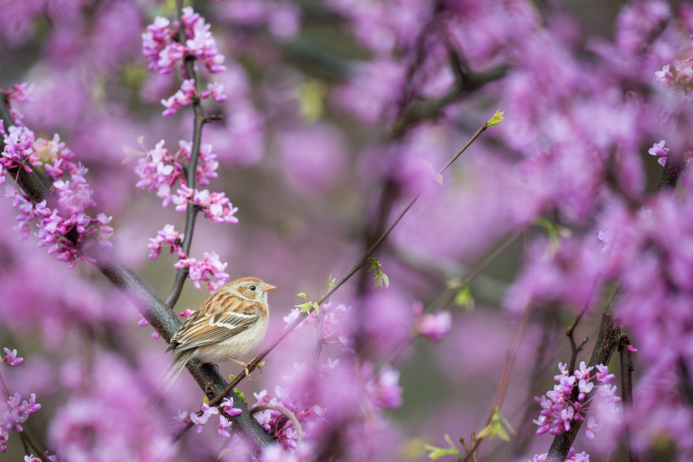Another Field Sparrow surrounded by the vibrant purple of a Redbud Tree.