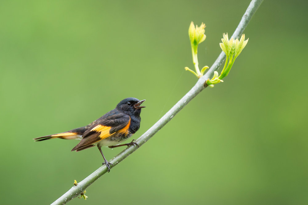 Hiking along the Appalachian trail far off the nearest road I found a great variety of warblers.