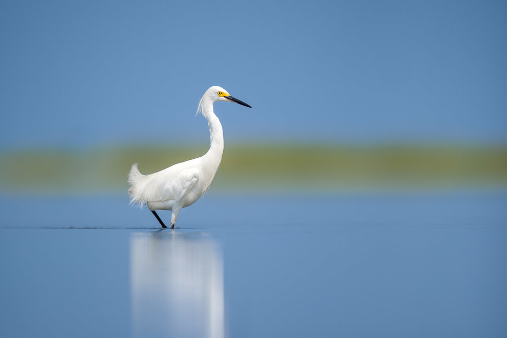 Sitting in the shallows in a wide open marsh I was able to get close to this Snowy Egret