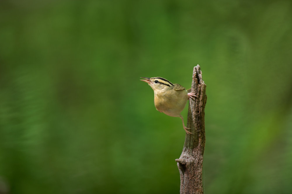 03_Worm-eating Warbler.jpg