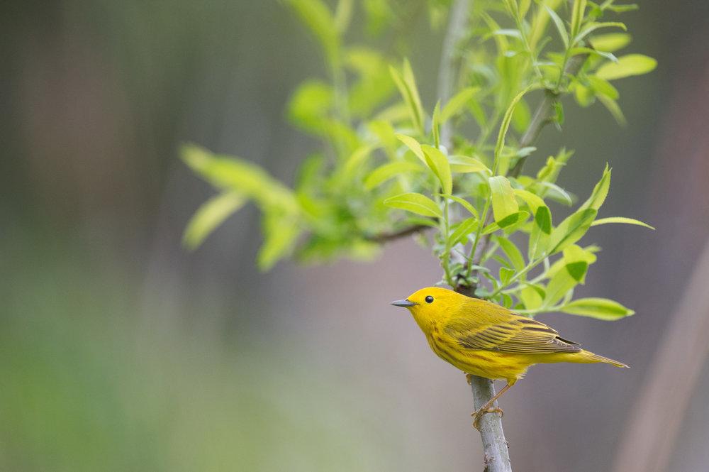 04_Yellow Warbler.jpg
