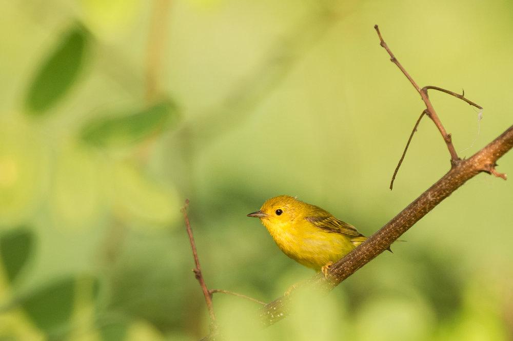 05_Little Yellow Warbler.jpg