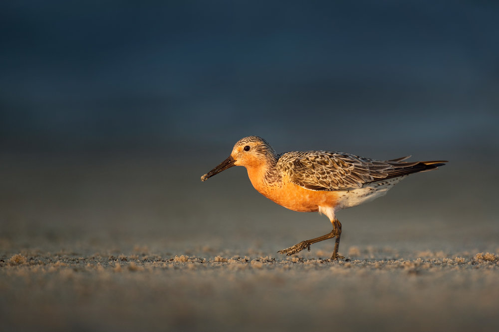 02_Red Knot in Golden Light.jpg