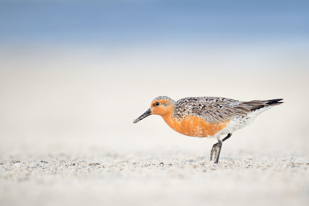 03_Red Knot High Key.jpg