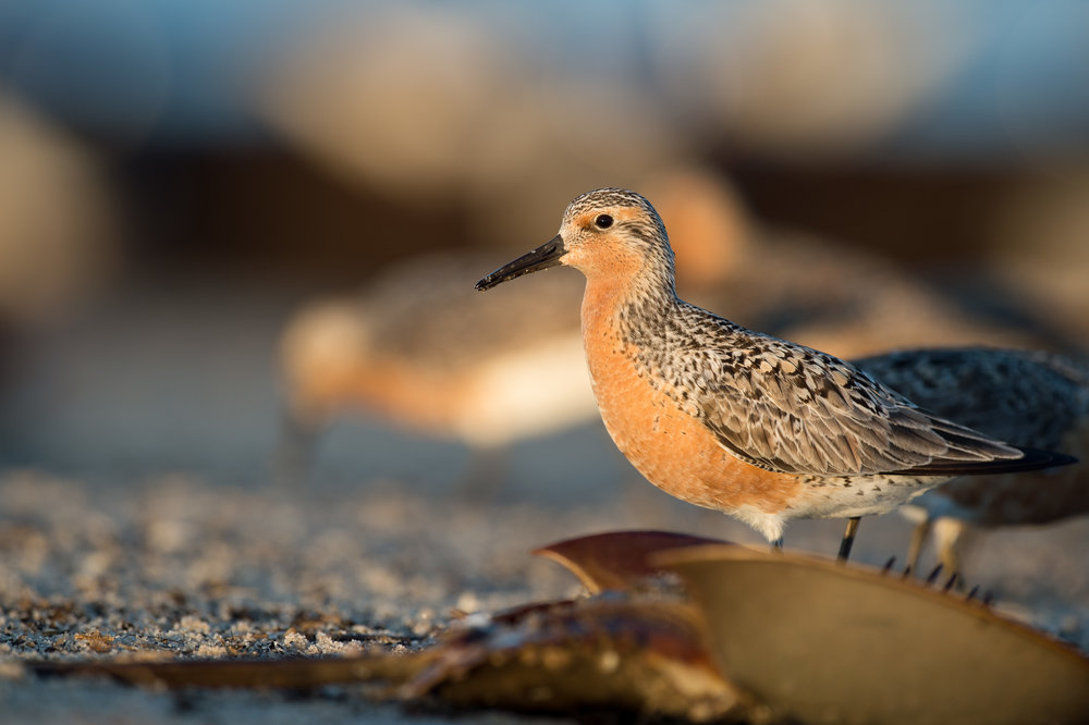 05_Red Knot.jpg