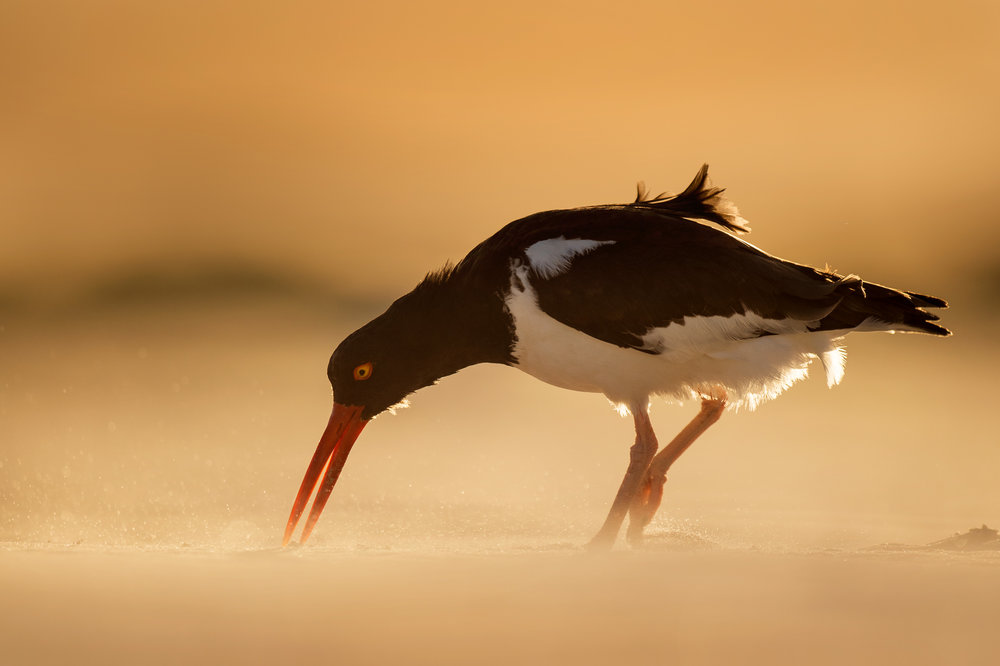 04_Oystercatcher and Blowing Sand.jpg