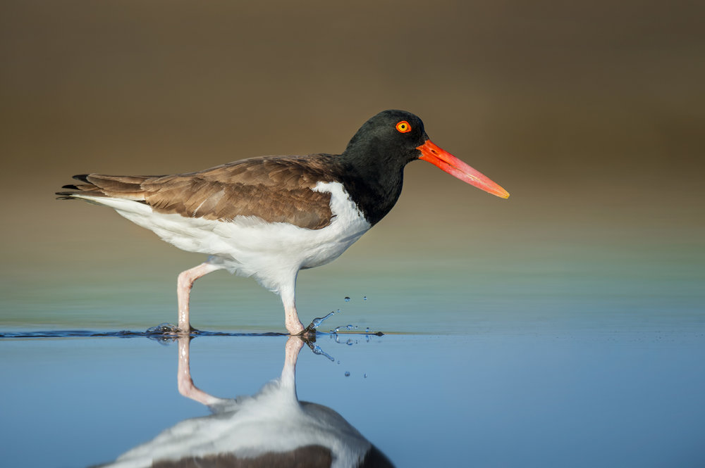 05_Oystercatcher and Reflection.jpg