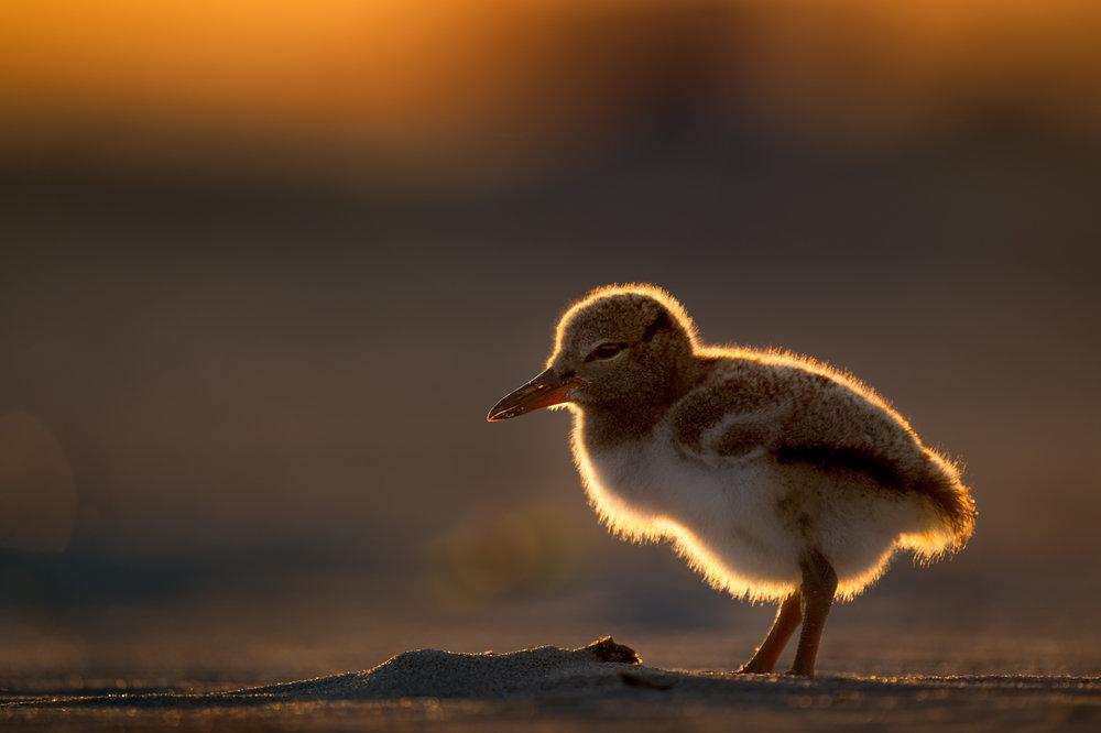 01_Sunset Chick.jpg