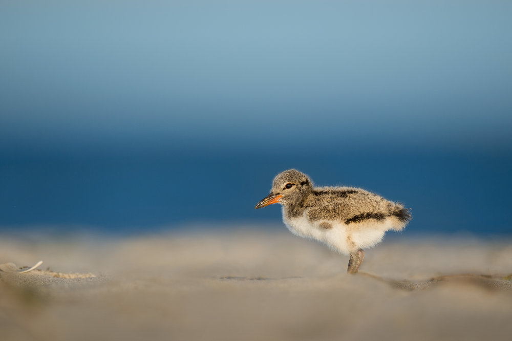 09_Oystercatcher Chick.jpg