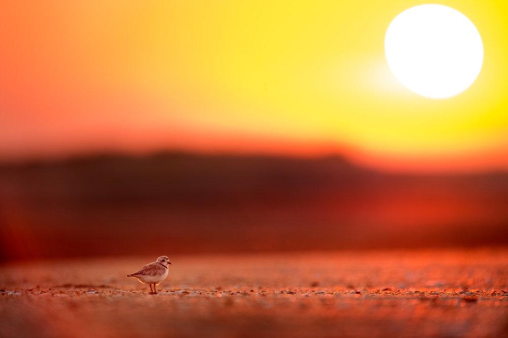 01_Sunrise Plover.jpg