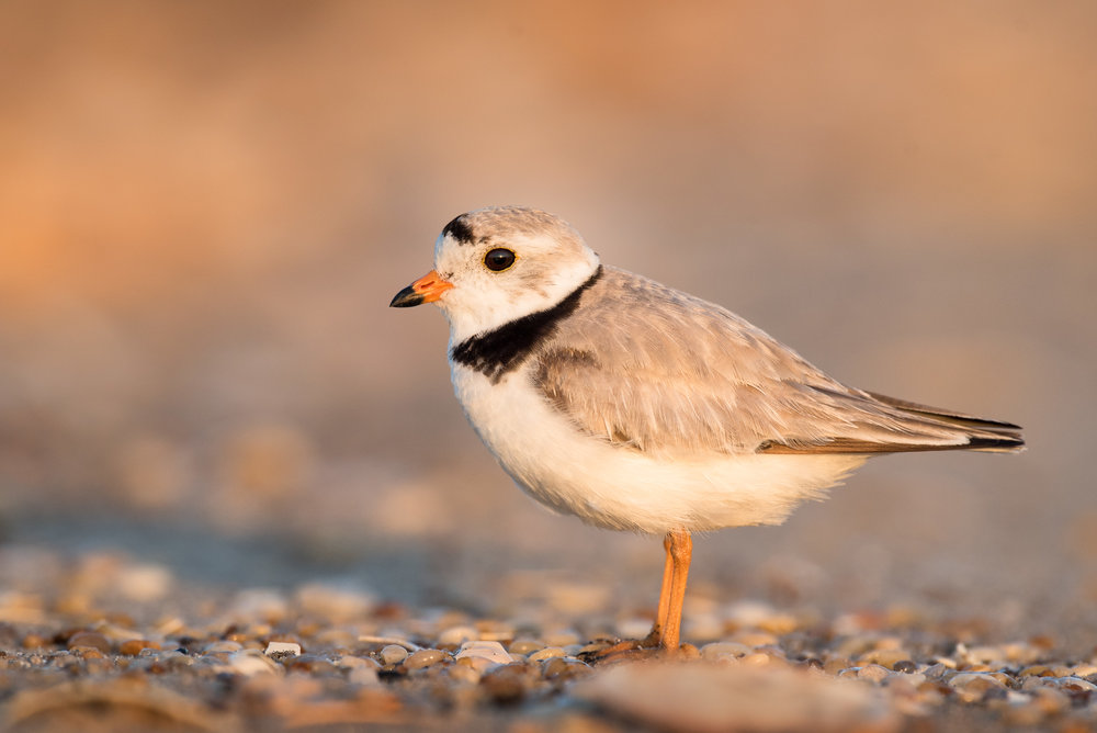 01_Adult Piping Plover Portrait.jpg
