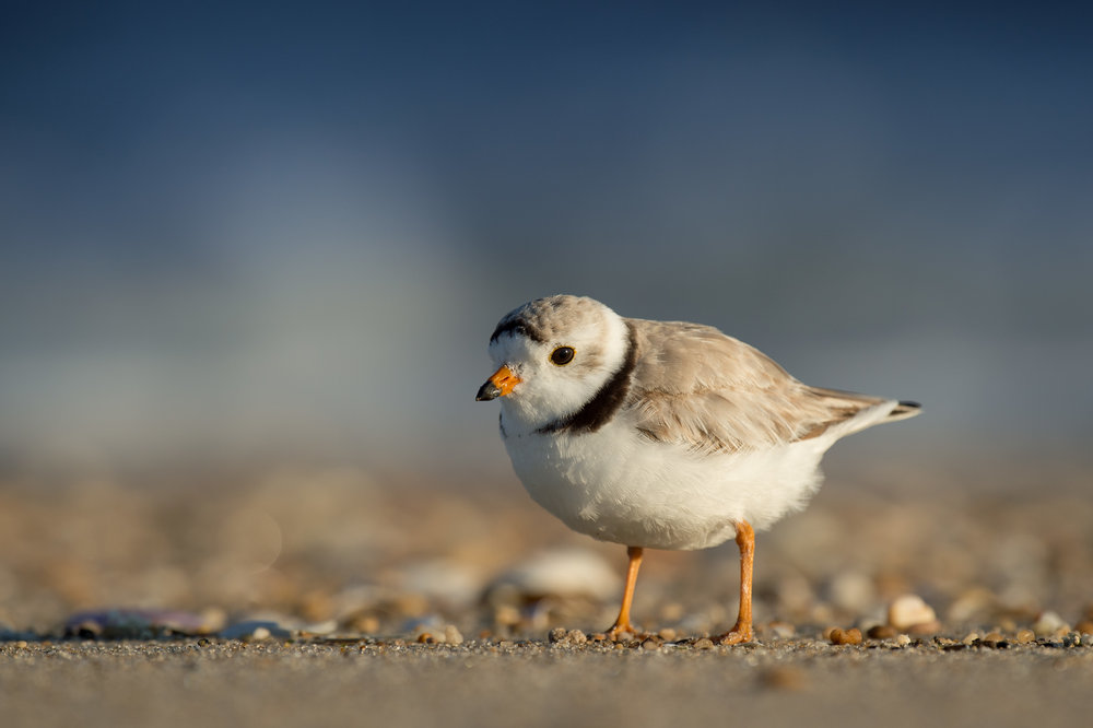04_Piping Plover Portrait.jpg