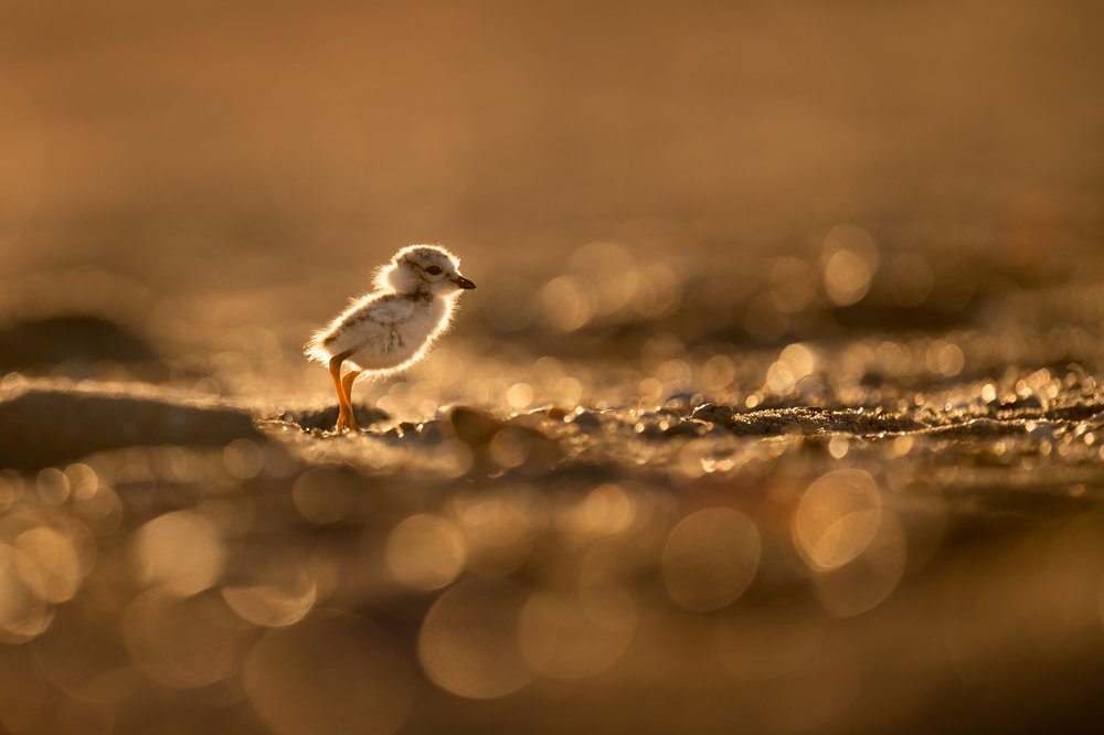07_Piping Plover Glow.jpg