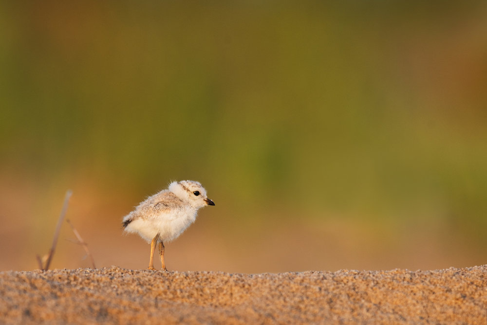 10_Cute Cottonball Piping Plover Chick.jpg
