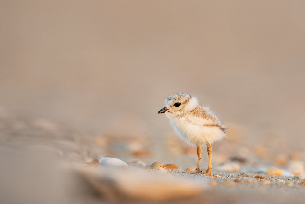 11_Cute Plover Chick.jpg