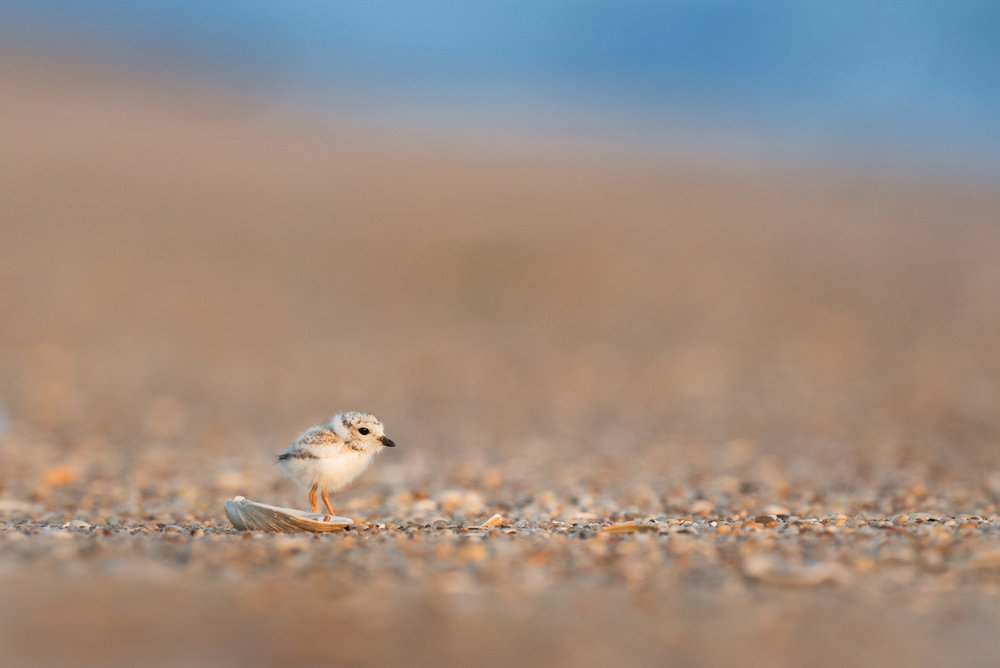 12_Plover Chick and a Shell.jpg