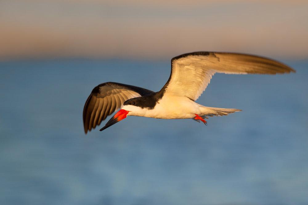 07_Skimmer Flight in the Morning.jpg