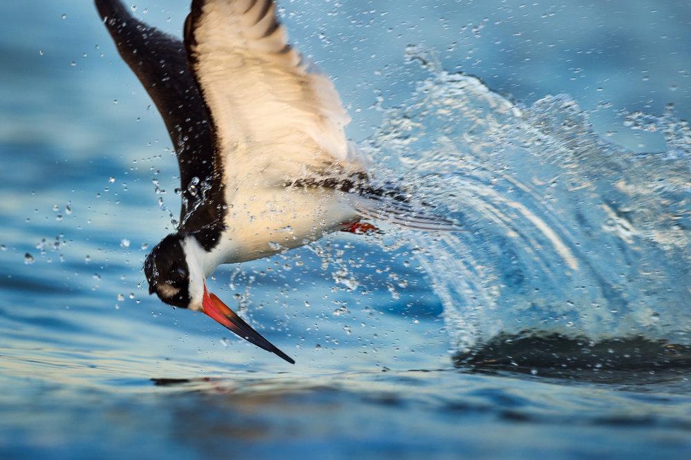 08_Splashing Black Skimmer.jpg