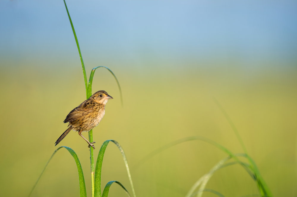 03_Seaside Sparrow in the Marsh.jpg