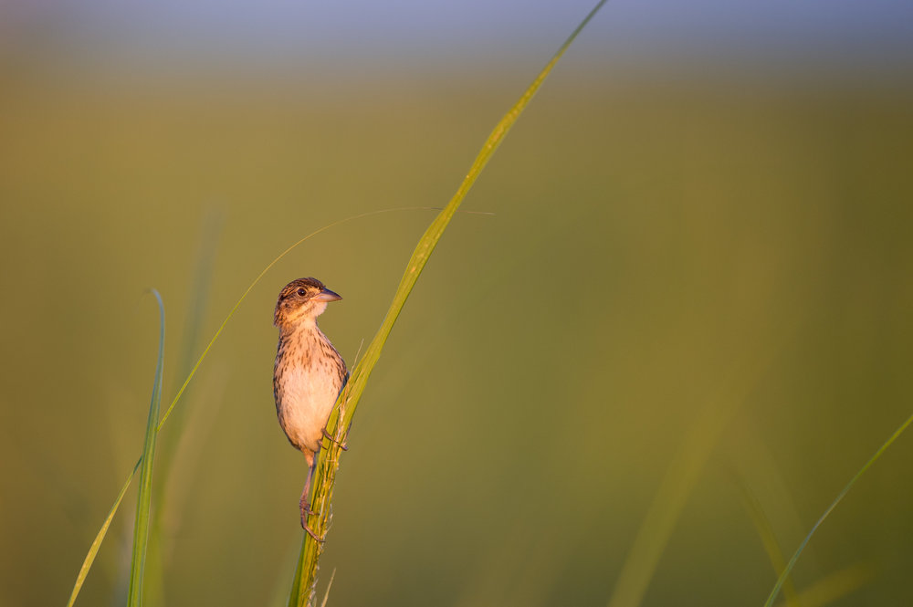 06_Alert Sparrow.jpg