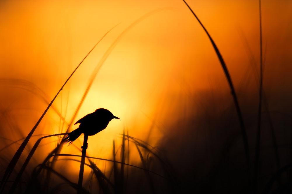 02_Marsh Wren Silhouette.jpg