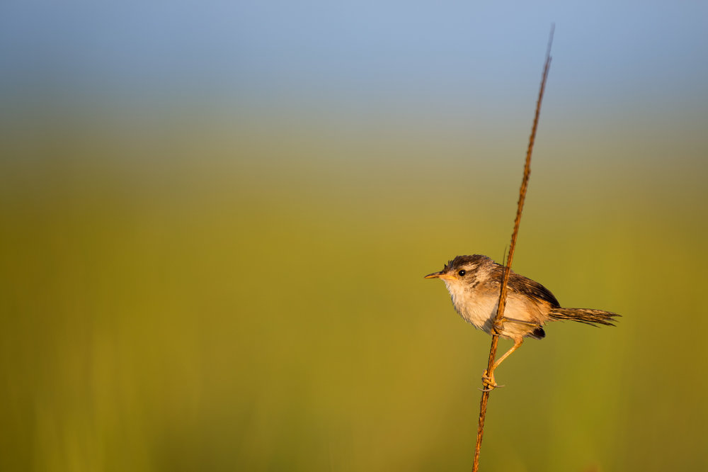01_Early Morning Marsh Wren.jpg
