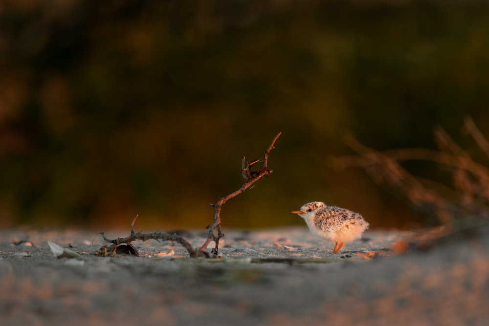02_Tern Chick at Sunrise.jpg