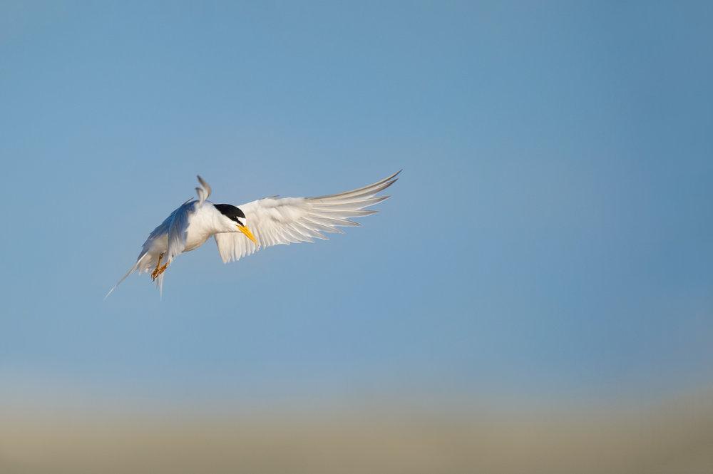 03_Landing Least Tern.jpg
