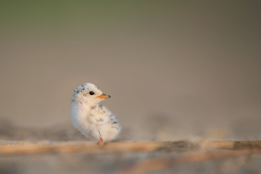 07_Least Tern Chick.jpg