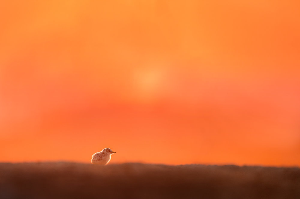12_Lone Least Chick at Sunrise.jpg