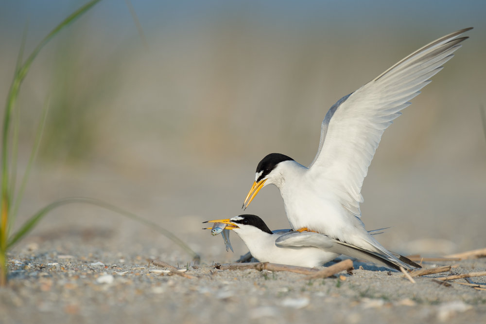 15_Least Terns Mating.jpg