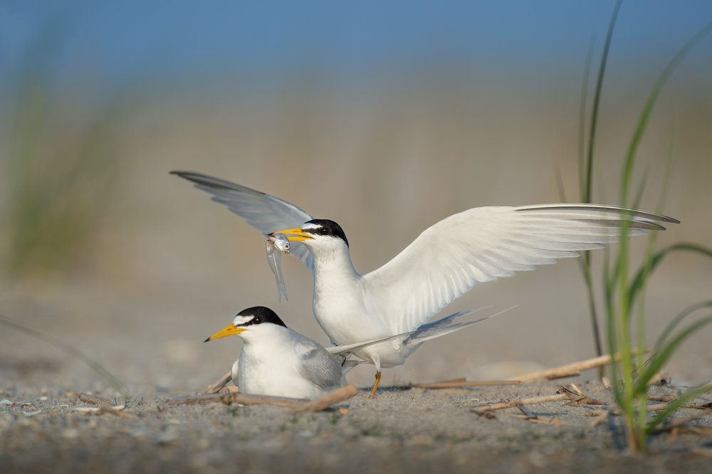 17_Courting Least Terns.jpg